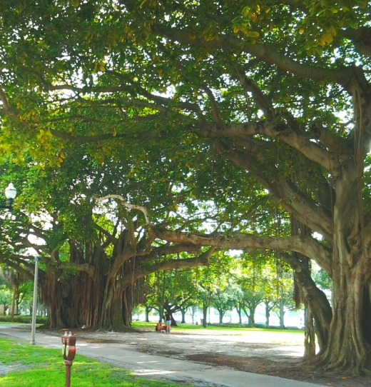 Trees at St. Pete near shoreline
